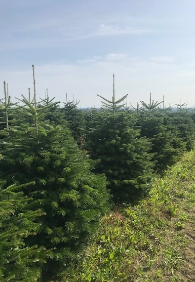 Christmas Trees Available Now……