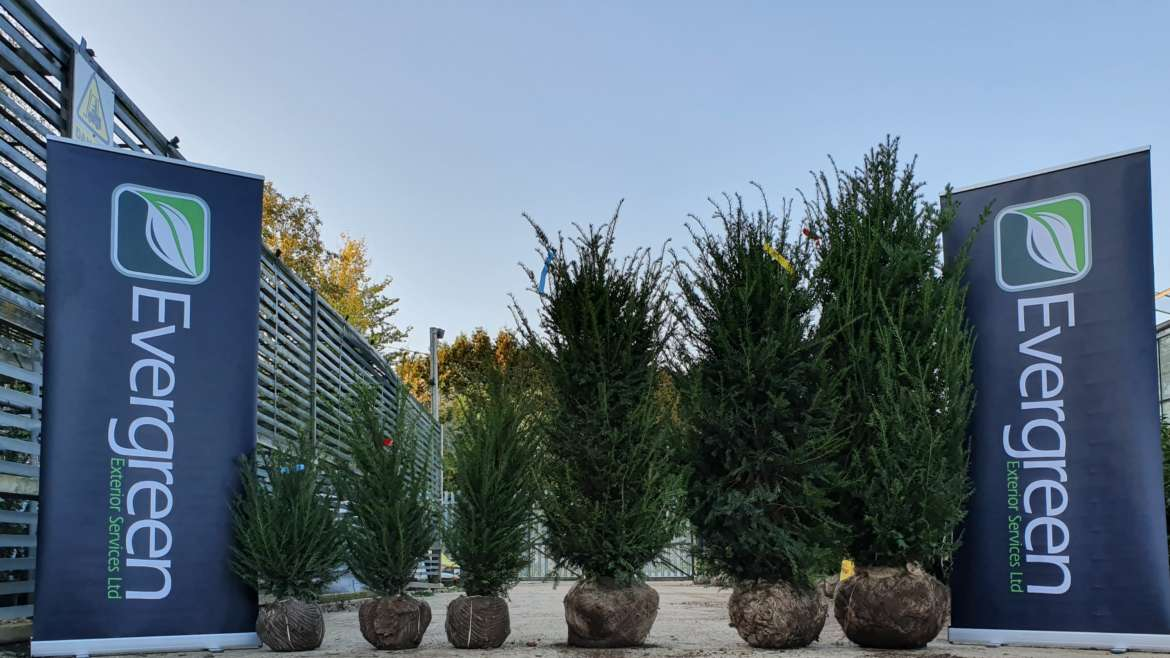 Taxus Baccata!